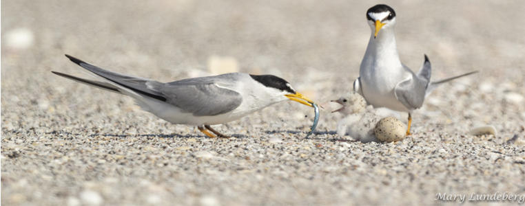 A least tern adult feeds its newly hatched chick